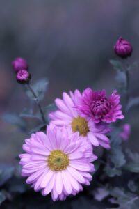herbstastern, asters, flowers